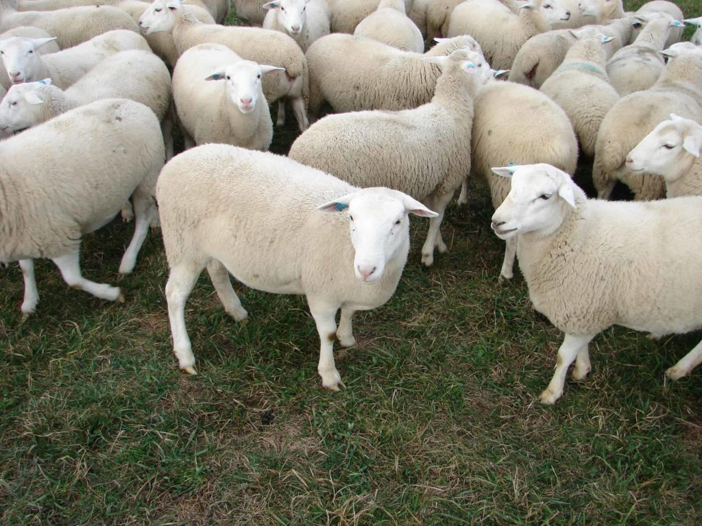 Lambs in africa