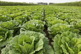 Growing Round Cabbage